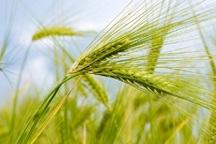 13290 تن گندم در گچساران برداشت شد
