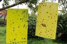 نصب یکهزار و 500 تله حشره گیر بر روی درختان در مشهد