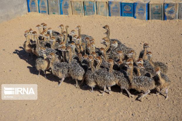 نخستین صادرات شترمرغ زنده از شازند انجام شد