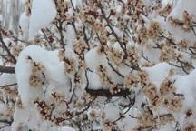سرما بخش عمده ای از محصولات باغی خلخال را از بین برد