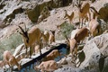 طرح اختصاصی قرق حیات وحش در شهرستان دماوند اجرا می شود