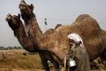 سالانه بیش از 150 تن گوشت شتر در ایرانشهر تولید می شود
