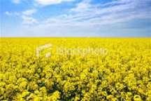 1414 تن کلزا از کشاورزان خراسان شمالی خریداری شد