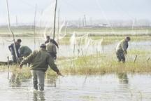دام های هوایی شکار در لنگرود جمع آوری شد