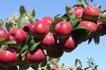 60 هزار کشاورز آذربایجان غربی در تولید سیب فعال هستند
