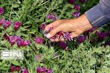 طرح تولید گیاهان دارویی برای مددجویان کهگیلویه و بویراحمد اجرا می شود