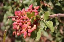 کاشت پسته به باغداران اصفهانی توصیه می شود