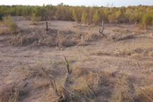 رئیس اداره منابع طبیعی آران و بیدگل: 1.3 تن چوب تاغ قاچاق در چهار عملیات جداگانه کشف شد