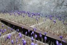 کارگاه کشت زعفران به روش گلخانه ای در مهاباد برگزار می شود