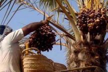 چاره اندیشی برای رونق میوه شیرین بوشهر