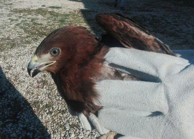 یک بهله عقاب در مانه و سملقان رهاسازی شد
