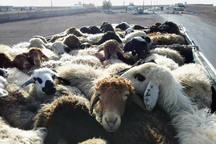 پلیس زنجان 90 راس دام قاچاق کشف کرد