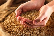 تولید گندم در استان مرکزی 73 درصد افزایش یافت
