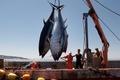 ژاپنیها مشتری تن ماهیان سیستانوبلوچستان