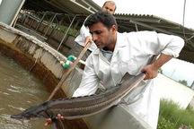 تکثیرمصنوعی ماهیان خاویاری را از انقراض نجات می دهد