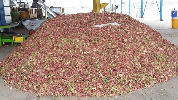 کشاورز نمونه یزدی ۲۱ تن پسته خشک در هر هکتار برداشت کرد