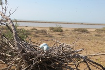 بیش از 10 هزار پرنده در تالاب های نقده تخم گذاری کردند