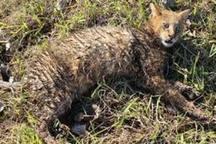 تیمار و رها سازی  گربه جنگلی در طبیعت تالش