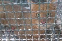 گربه جنگلی گرفتار در قفس کبوترها به طبیعت بجنورد برگشت