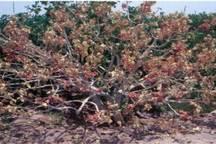 گرما 90 درصد محصول پسته رفسنجان را از بین برد