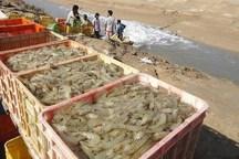 6950 تن میگوی پرورشی در گناوه تولید شد