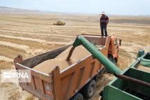 بیش از ۲۳۱ هزار تُن گندم در بیجار برداشت شد