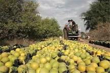استان فارس رتبه دوم تولید مرکبات کشور را داراست