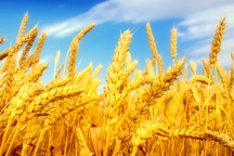همدان در تولید گندم رتبه برتر کشوری را کسب کرد