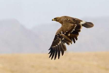 رها سازی عقاب سارگپه به دامان طبیعت کهنوج