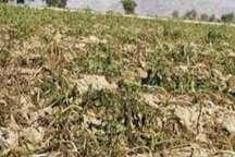 خسارت هفت میلیارد ریالی تگرگ به  کشاورزی داورزن