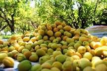 برداشت زردآلو از باغ های سیستان و بلوچستان آغاز شد
