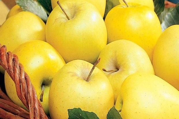 بیش از 22 هزار تن سیب از باغ های خوی برداشت شد