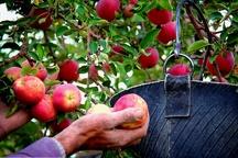پیش بینی برداشت بیش از 3000 تن سیب درختی در چالدران