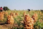 برداشت پیاز از مزارع دزفول آغاز شد