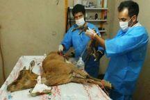 روستاییان جاجرم میش وحشی زخمی را نجات دادند