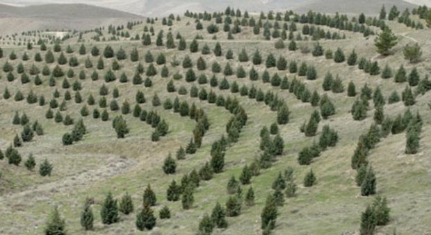طرح جنگلکاری اقتصادی در وردنجان آغاز شد