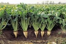 پیش بینی تولید بیش از دو میلیون تن چغندرقند از مزارع آذربایجان غربی
