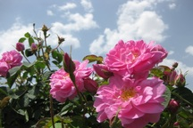 گلستان های جاجرم افزایش می یابد