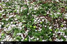 بارش تگرگ به باغات بروجرد خسارت وارد کرد