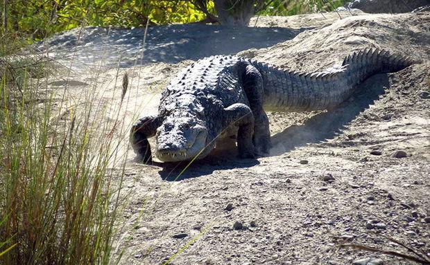 یک سر تمساح در سرباز زندهگیری شد