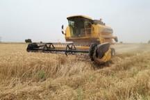 برداشت گندم در گتوند آغاز شد
