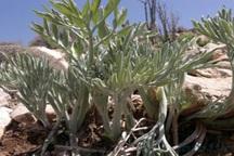 بیش از 6 هزار بوته گیاه کوهی در گچساران کشف شد