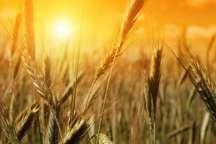 آغاز خرید تضمینی غلات در شهرستان تیران و کرون