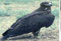 رهاسازی یک بهله عقاب در طبیعت سبزوار