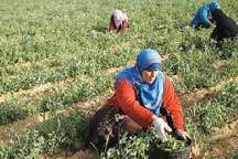 طرح کشت الگویی حبوبات در تمامی شهرستان های خراسان شمالی اجرا شد