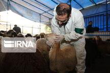 ۷۸ گروه بر ذبح بهداشتی عزاداری محرم در استان مرکزی نظارت دارند