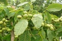 13 اصله درخت گردو در بانه وقف فعالیت های قرآنی شد