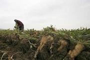 خطر نابودی 800هزار تن چغندر قند بیخ گوش کشاورزان خوزستانی