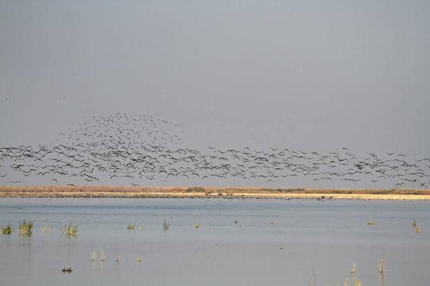 هزاران پرنده مهاجر وارد تالاب قره قشلاق شدند