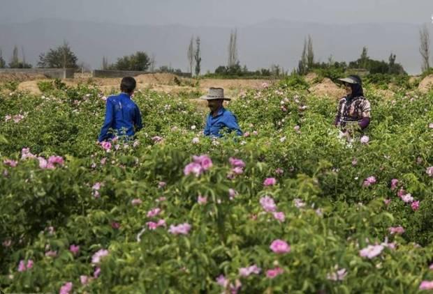 کشت گل محمدی دیمزارها را تخریب می کند